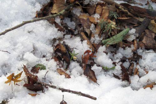 雪の下の花