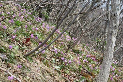 カタクリ咲く斜面