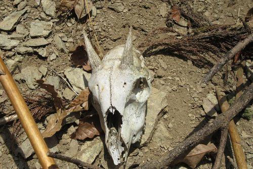 カモシカ頭骨