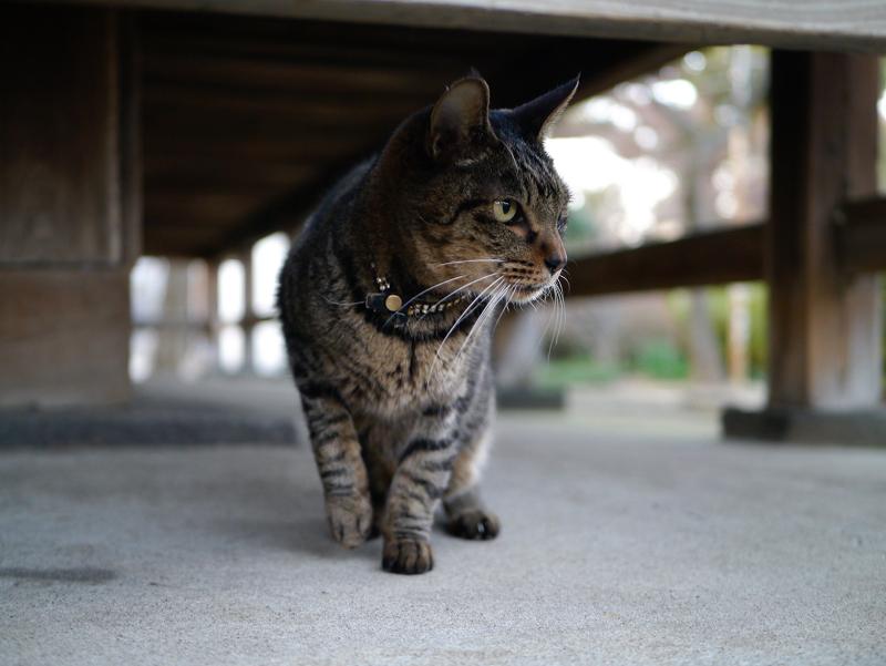 濡れ縁の下のカッコイイキジトラ猫