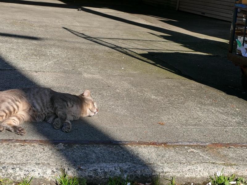 陽溜まりで気持ちよさそうなキジ白猫1
