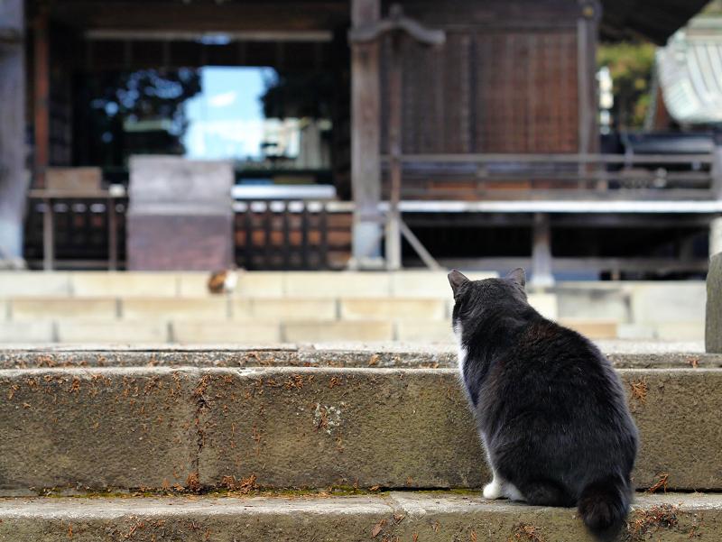 本殿参道の猫たち2