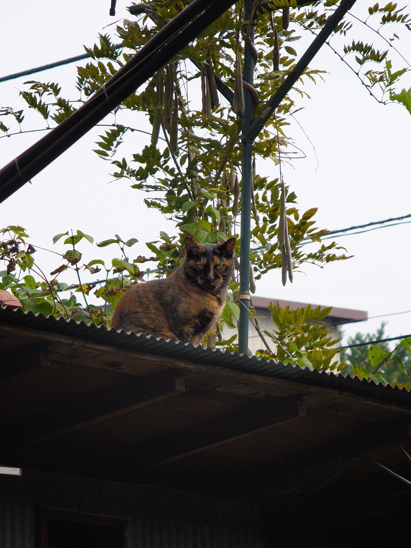 屋根上のサビ猫