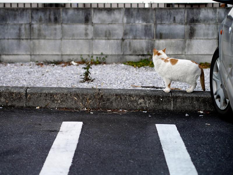 コンビニ駐車場の茶白猫1