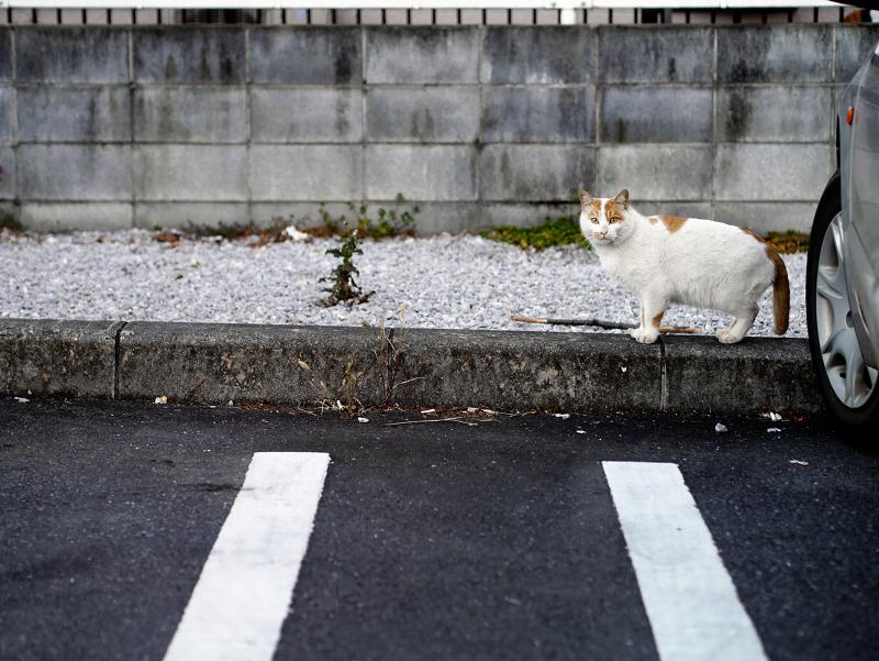 コンビニ駐車場の茶白猫2