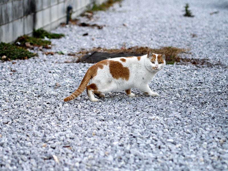 コンビニ駐車場の茶白猫3