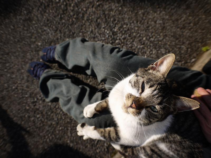 膝に乗ってレンズを狙ってるキジ白猫4