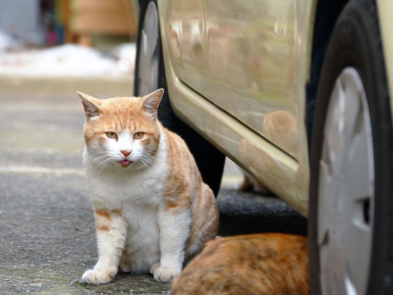 食堂駐車場の茶白猫1