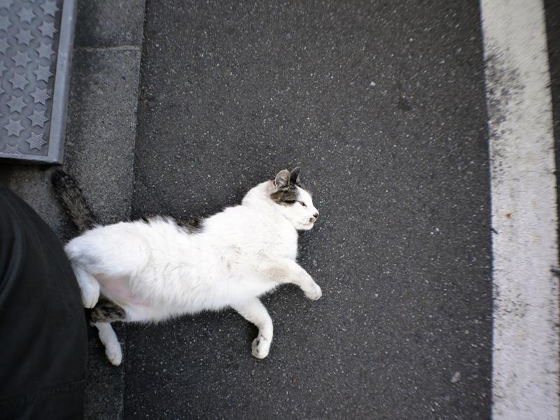 背後で転がってた白キジ猫1