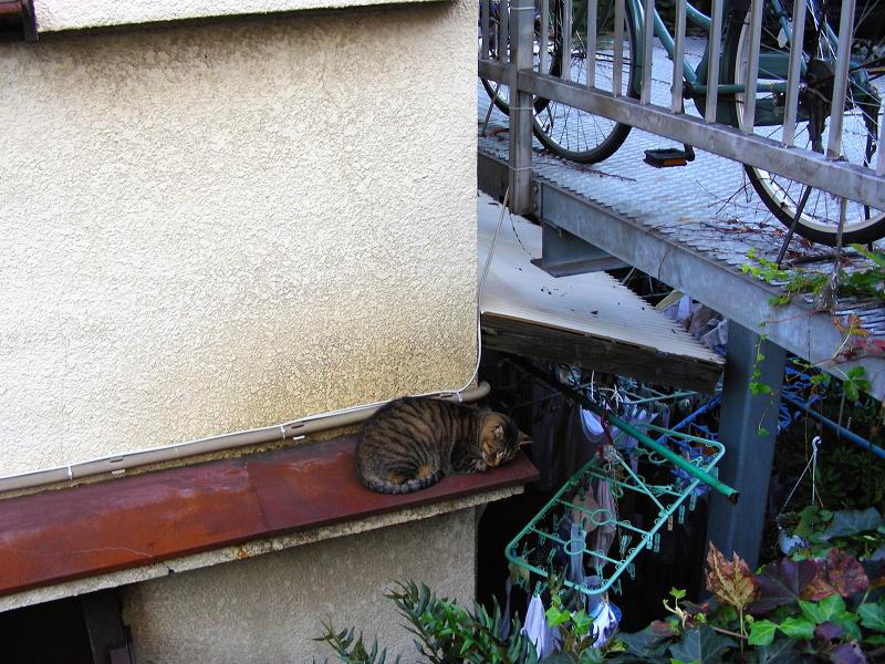 洗濯物とキジトラ猫1