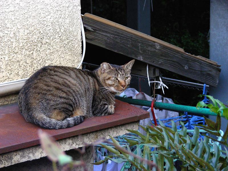 洗濯物とキジトラ猫2
