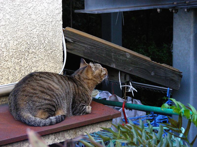 洗濯物とキジトラ猫3
