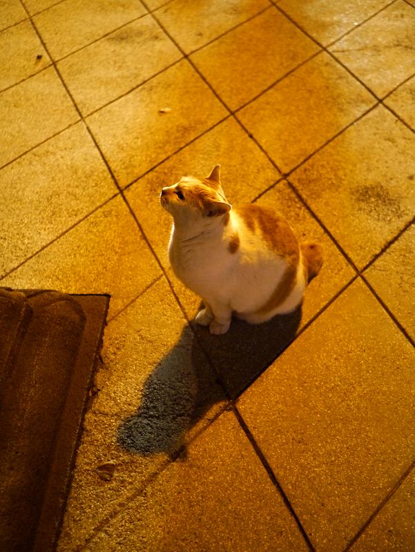 夜の境内と茶白猫1