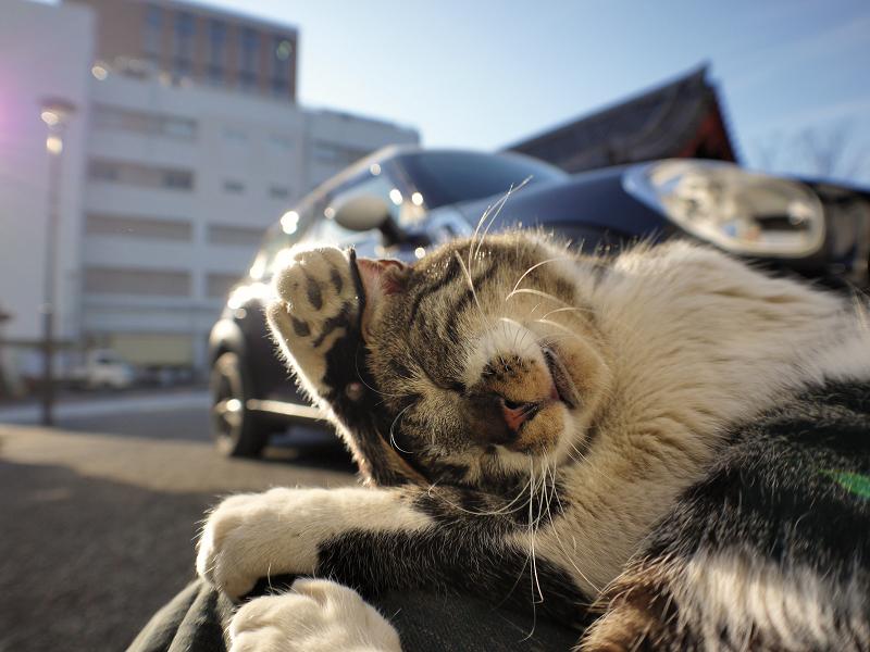 膝に乗って毛づくろいするキジ白猫1