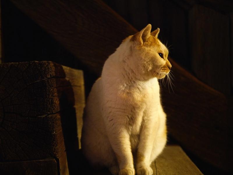 夜の境内と茶白猫2