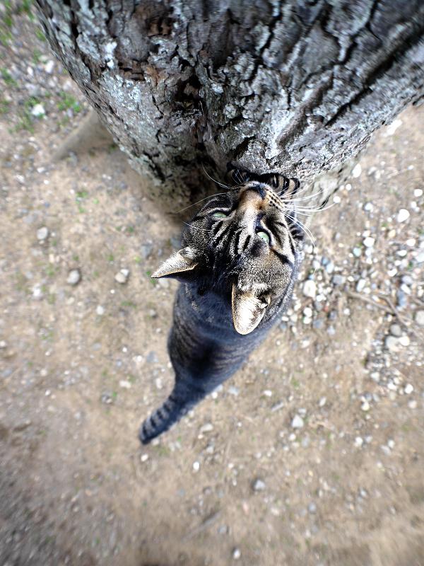 大木で爪を研ぐキジトラ猫2
