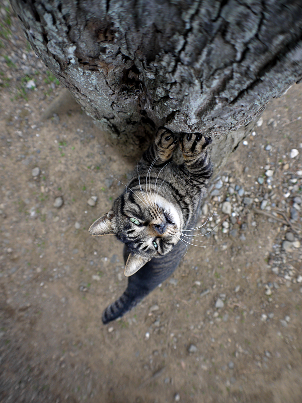 大木で爪を研ぐキジトラ猫4