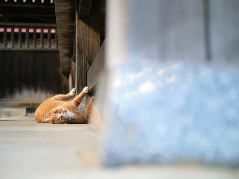 拝殿で大騒ぎしてる茶白猫2