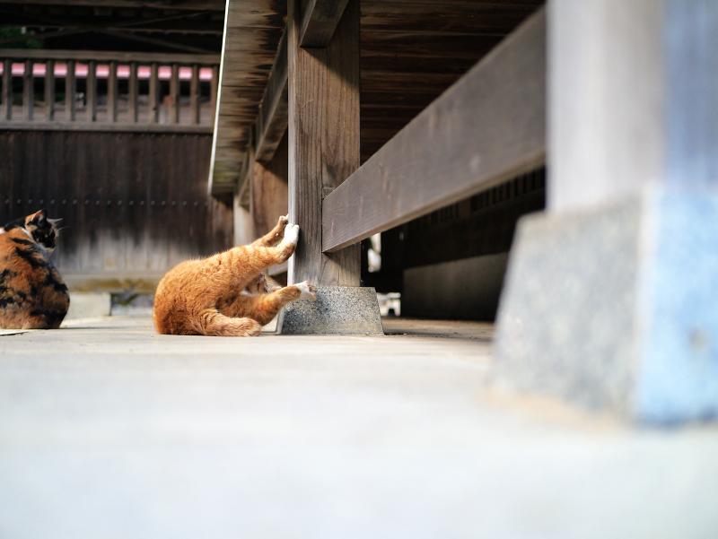 拝殿で大騒ぎしてる茶白猫4