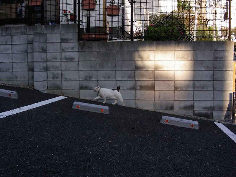 駐車場を歩いてる白猫1