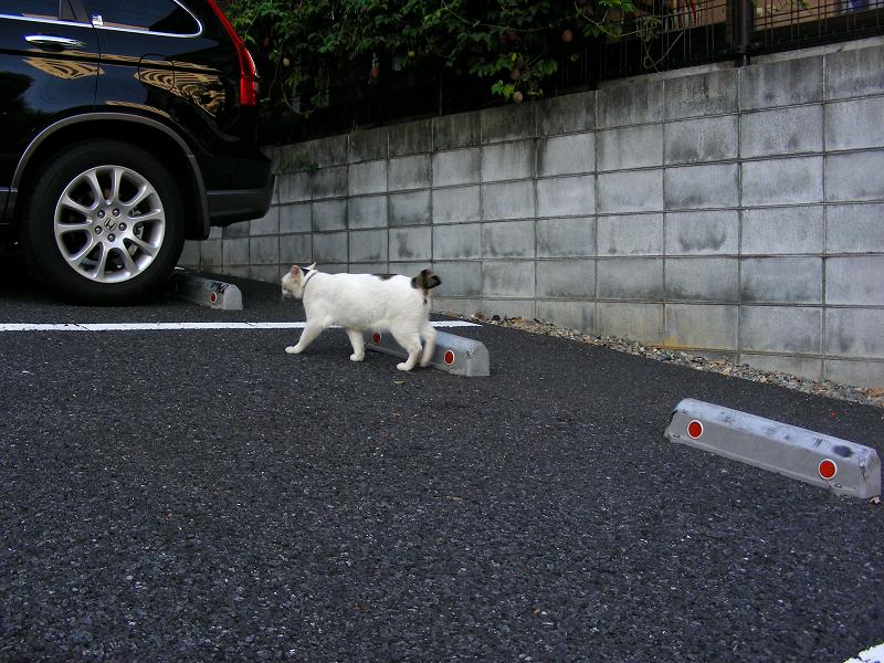 駐車場を歩いてる白猫2