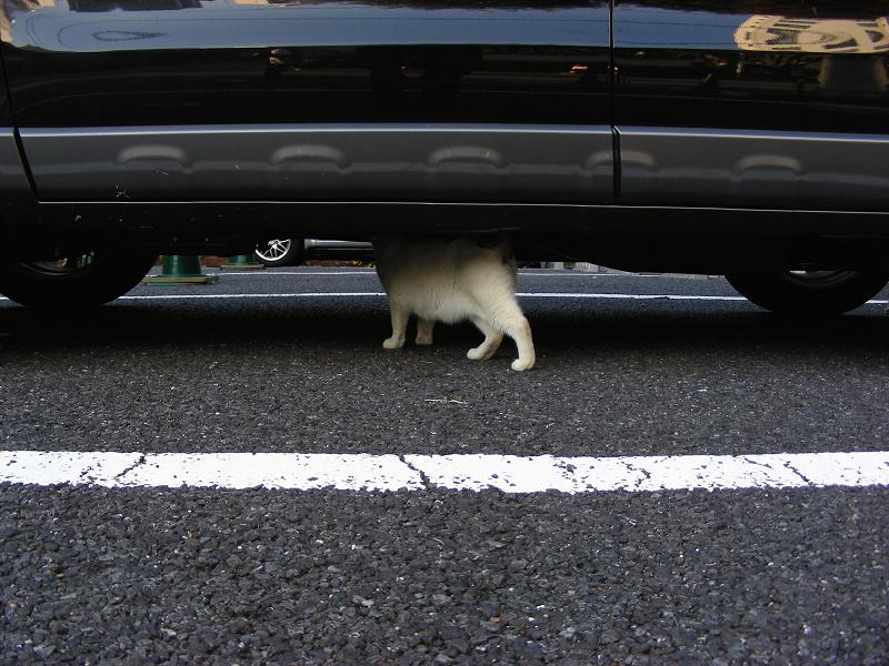 駐車場を歩いてる白猫3