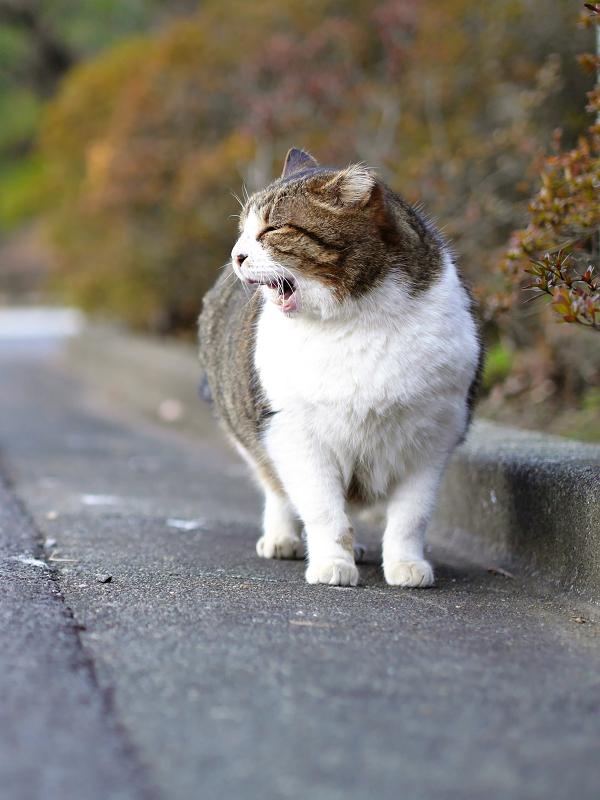 参道で欠伸をするキジ白猫1