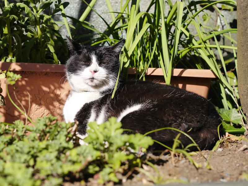 草むらで寛ぐ黒白猫1