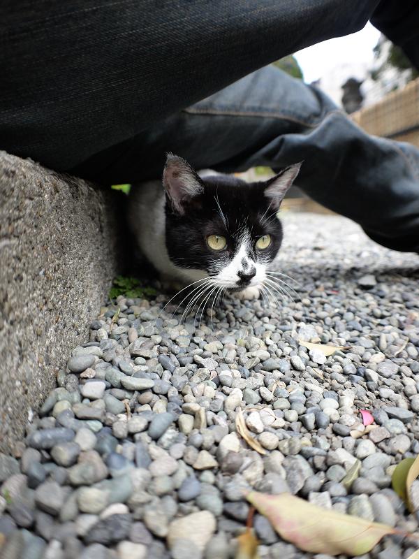 腿の下の隙間に潜り込んでる白黒猫1