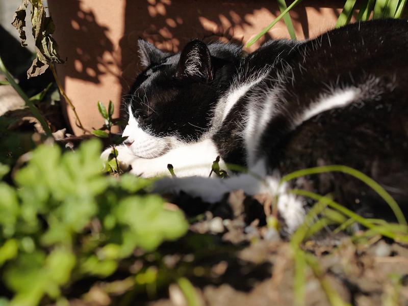 草むらで寛ぐ黒白猫2