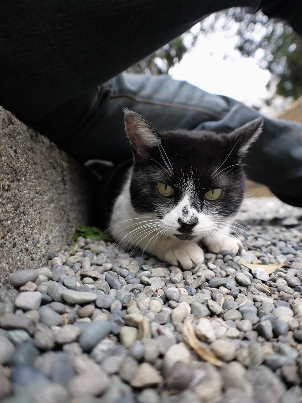 腿の下の隙間に潜り込んでる白黒猫2