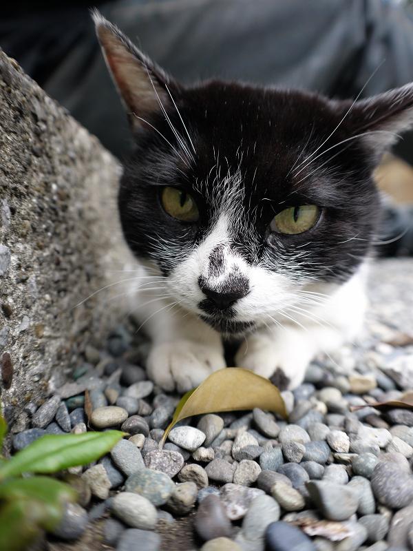 腿の下の隙間に潜り込んでる白黒猫3
