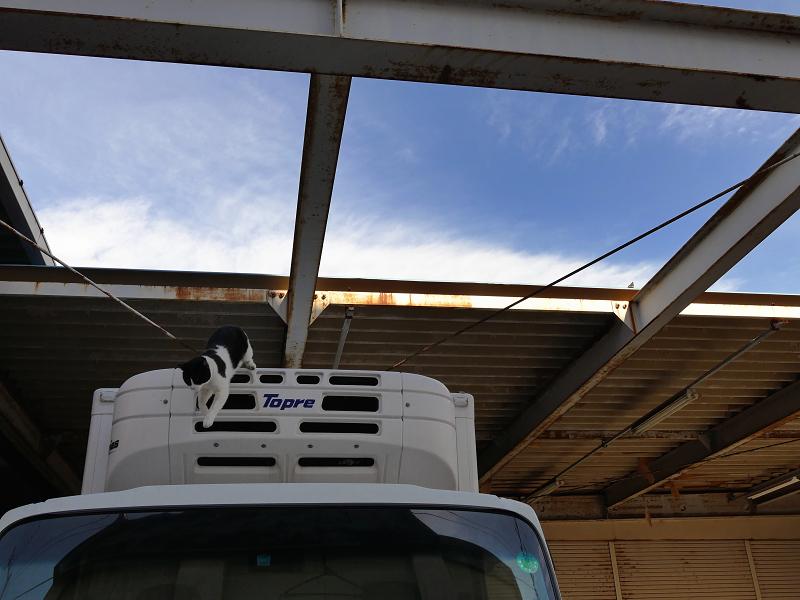 車の屋根から降りてくる黒白猫1