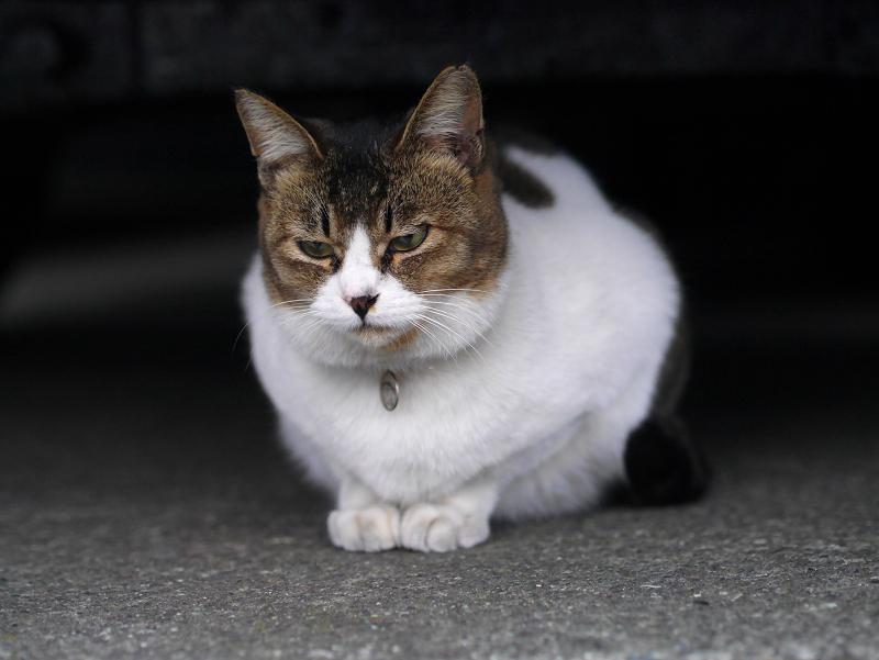 車の下に佇んでいるキジ白猫1
