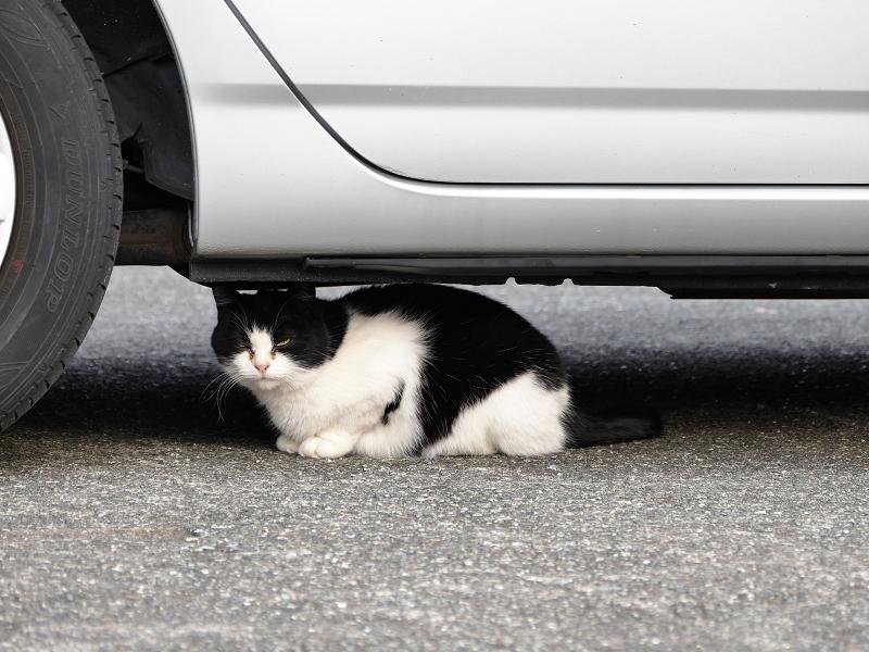 駐車場車下の白黒猫1