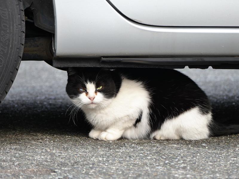 駐車場車下の白黒猫2