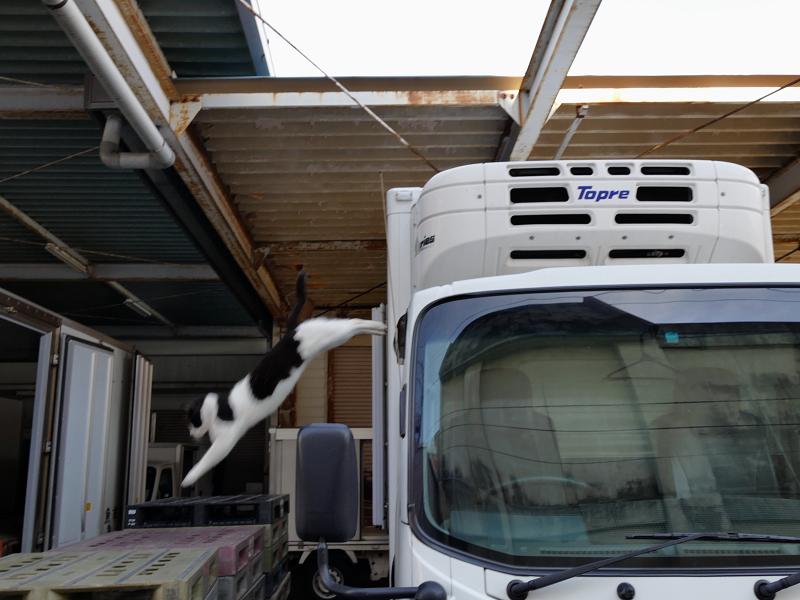 車の屋根から降りてくる黒白猫3