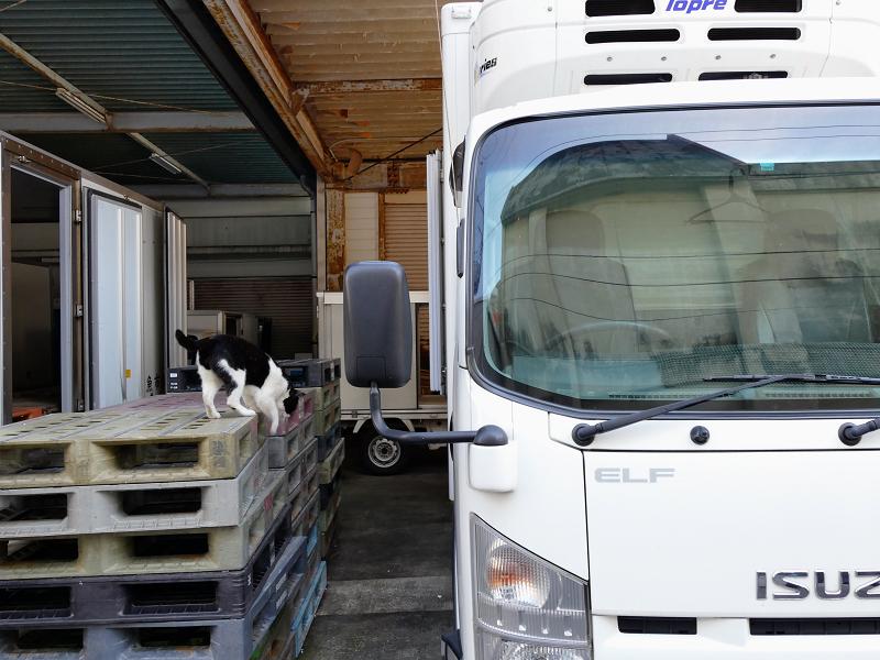 車の屋根から降りてくる黒白猫4