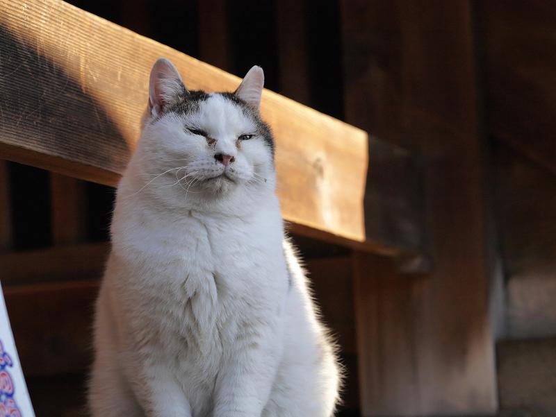 風格漂う白キジ猫