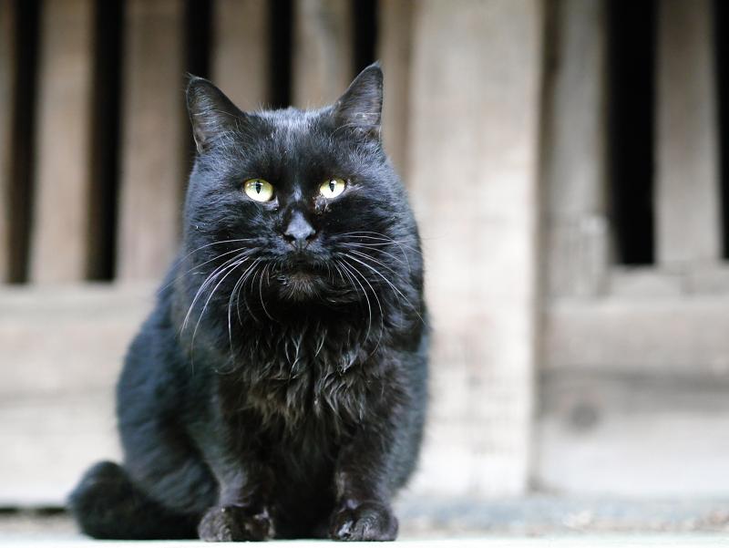 犬走りのデカイ黒猫1