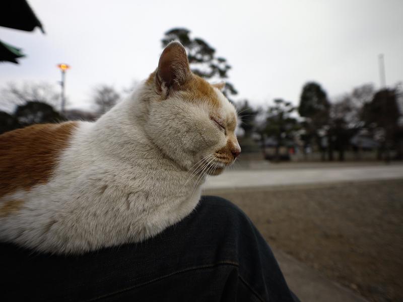 私の膝と茶白猫1