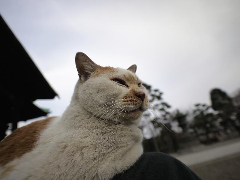 私の膝と茶白猫2