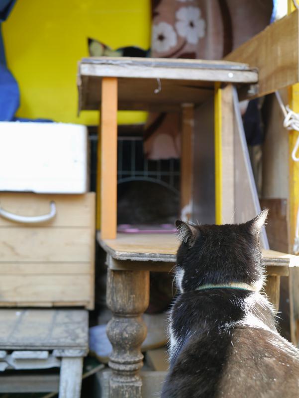 ハウス前の黒白猫