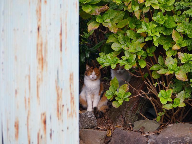 庭先茂みの2匹の三毛猫1