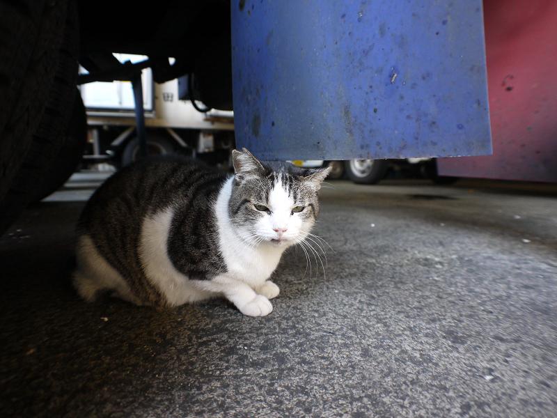 大型車の下のキジ白猫1