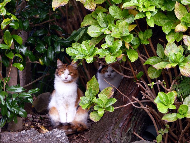 庭先茂みの2匹の三毛猫2