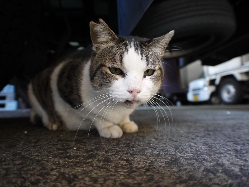 大型車の下のキジ白猫2