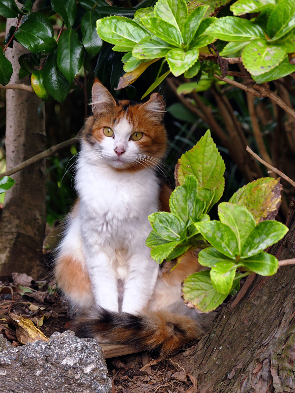 庭先茂みの2匹の三毛猫3