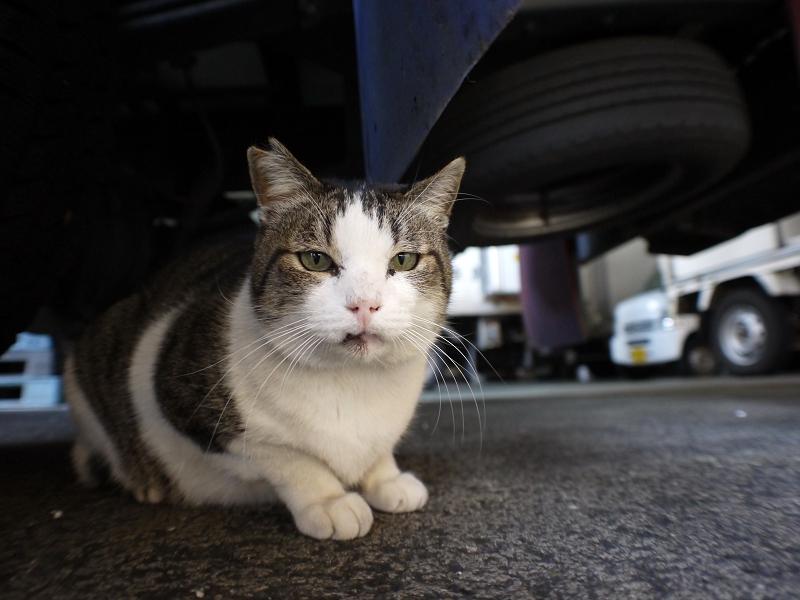 大型車の下のキジ白猫3