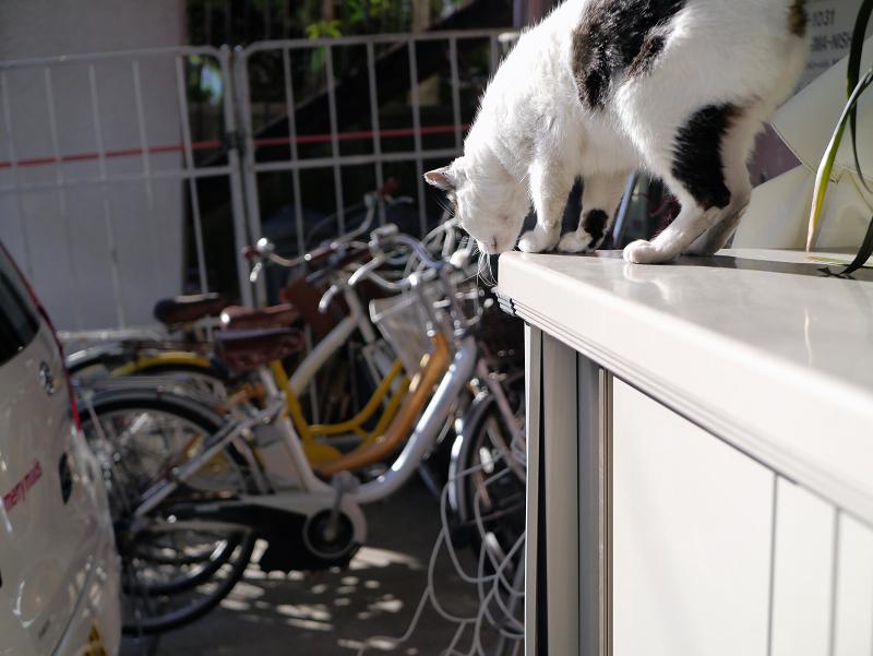 物置から降りる白キジ猫1